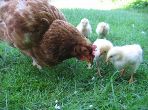 Hen_with_chickens_in_native_breeding